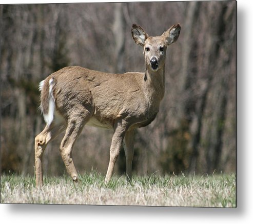 Animal Metal Print featuring the photograph Whitetail Profile 1 by David Dunham