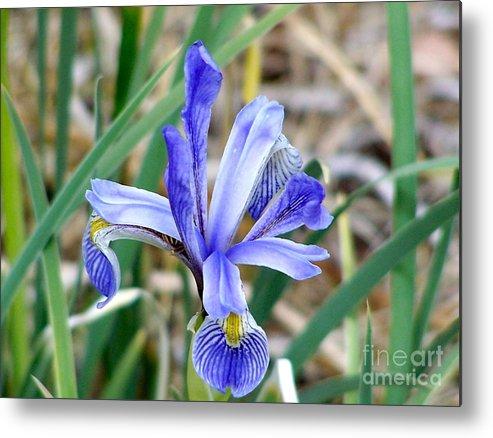 Wild Iris Metal Print featuring the photograph Wild Iris At South Fork by Pamela Walrath