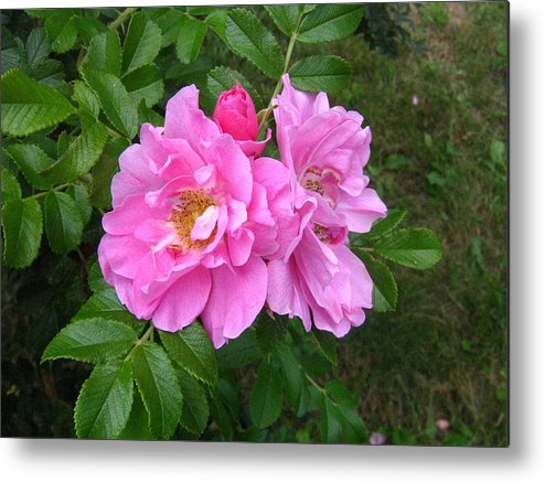Rose Metal Print featuring the photograph Wild Roses by Melissa Parks