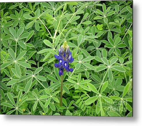 Nature Metal Print featuring the photograph Wildflowers - All Alone And Blue by Lucyna A M Green