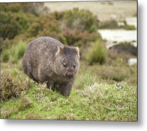 Forty Winks Metal Print featuring the photograph Wombat Tasmania #1 by Teresa A and Preston S Cole Photography
