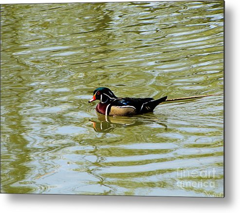 Wood Duck Metal Print featuring the photograph Wood Duck by September Stone