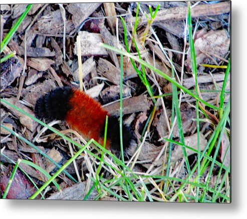 Nature Metal Print featuring the photograph Wooly Bear 1 by Don Baker