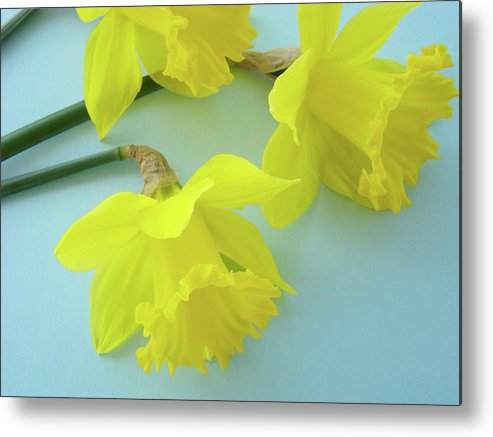 �daffodils Artwork� Metal Print featuring the photograph Yellow Daffodils Artwork Spring Flowers Art Prints Nature Floral Art by Baslee Troutman