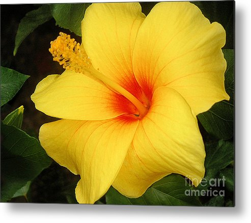 Nature Metal Print featuring the photograph Yellow Hibiscus by Lucyna A M Green