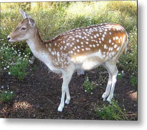 Deer Metal Print featuring the photograph Young Doe by Melissa Parks