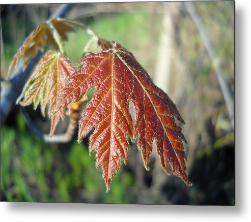 Maple Metal Print featuring the photograph Young Red Maple Leaf In May by Kent Lorentzen