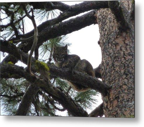 Bobcat Metal Print featuring the photograph Bobcat Cat Bob In A Tree by Garrett Butler