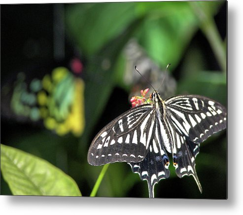 Butterfly Metal Print featuring the photograph Butterfly Perfect by JAMART Photography