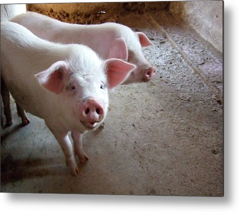 Pig Metal Print featuring the photograph Two Pigs by Shinichi.imanaka
