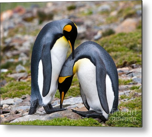 Animal Metal Print featuring the photograph King Penguins by John Shaw