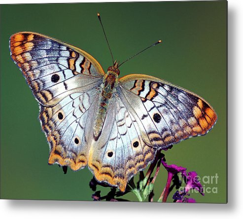Fauna Metal Print featuring the photograph White Peacock Butterfly by Millard H. Sharp