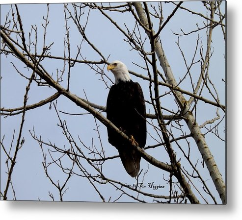 Eagle In Tree Metal Print featuring the photograph Bald Eagle by Thomas Higgins