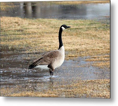 Wildlife Metal Print featuring the photograph Canada Goose by Lori Tordsen