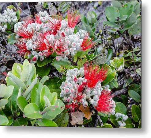 Red-green-white Metal Print featuring the photograph Christmas Berries by Georgette Grossman