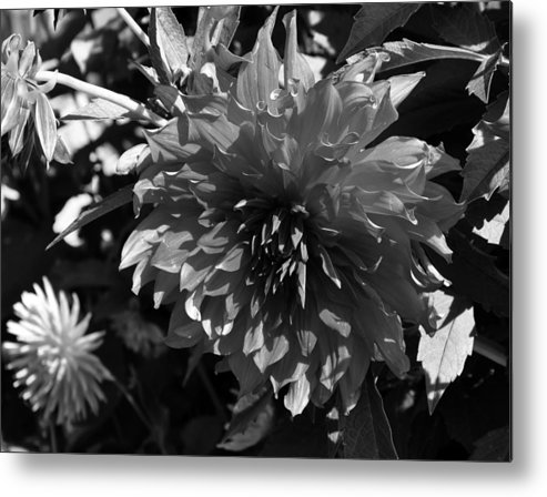 Black And White Metal Print featuring the painting Dahlia by Kirt Tisdale