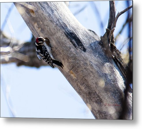 Spring Metal Print featuring the photograph Downy Woodpecker Home by Edward Peterson