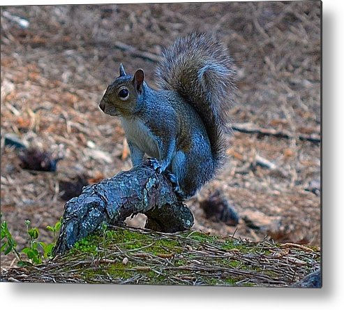 Squirrel Metal Print featuring the photograph Perching Squirrel by Tara Potts