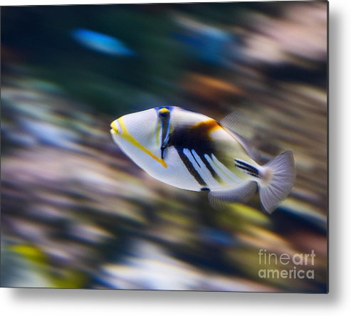 Rhinecanthus Aculeatus Metal Print featuring the photograph Picasso - Lagoon Triggerfish Rhinecanthus Aculeatus by Jamie Pham