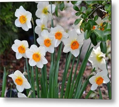 Garden Metal Print featuring the photograph Pretty Daffodil Garden by P S