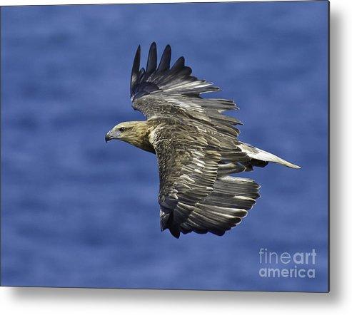 Sea Eagle Metal Print featuring the photograph Sea Eagle by Michael Nau