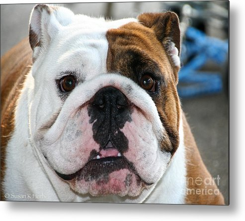 Animal Metal Print featuring the photograph Smashface by Susan Herber