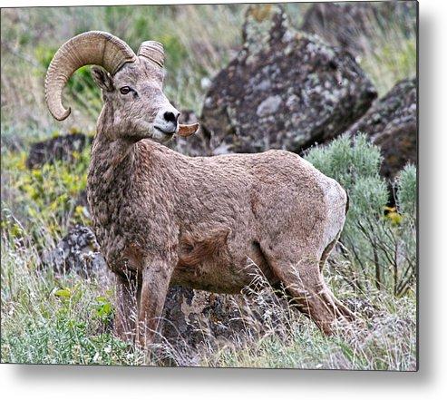 Bighorn Sheep Metal Print featuring the photograph Wild Bighorn by Athena Mckinzie