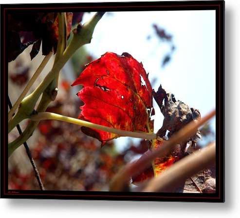 Vine Metal Print featuring the photograph Vine Leaf At Fall. 02 by Arik Baltinester