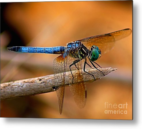 Animals Metal Print featuring the photograph Dragon Fly by Nick Zelinsky