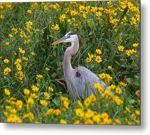 Birds Metal Print featuring the photograph Great Blue Heron In The Flowers by Myrna Bradshaw