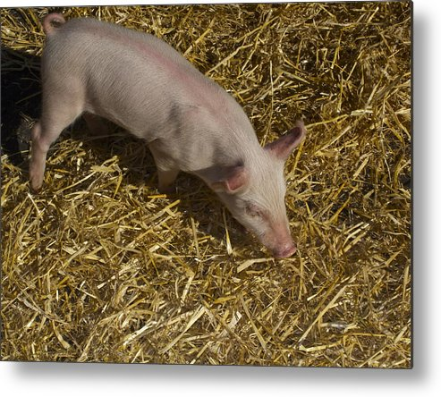 Pig. Piglet. Hoof. Straw. Beacon.snout. Ears. Pink. Tail. Nature. Outdoors. Farm. Animal. Wildlife. Ham. Cooking. Food. Feeding. Roast Pig. Metal Print featuring the photograph Pig. Yummy Roasted by Michael Clarke JP