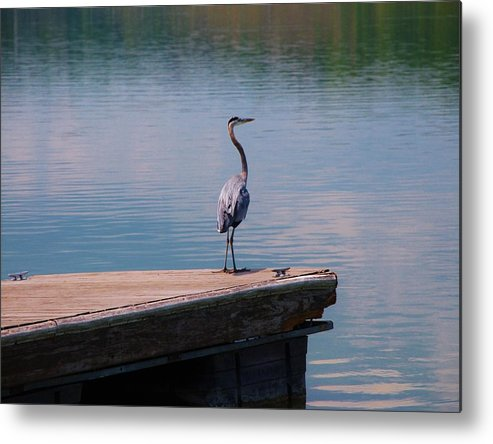 Wildlife Metal Print featuring the photograph Standing On The Dock by T Campbell