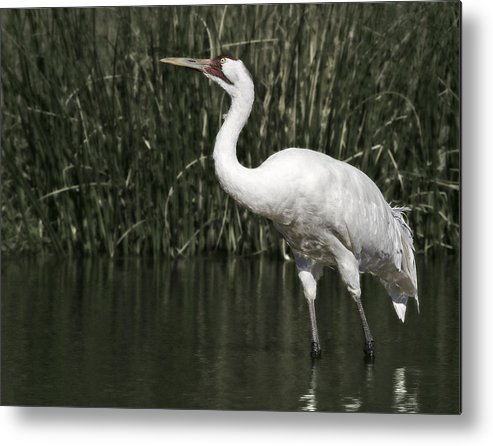 Whooping Metal Print featuring the photograph Whooping Crane by Al Mueller