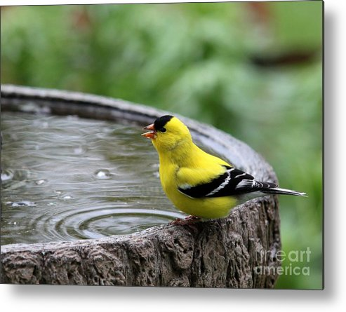 Nature Metal Print featuring the photograph American Goldfinch by Jack R Brock