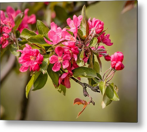 Apple Metal Print featuring the photograph Paradise Apples Flowers by Alain De Maximy