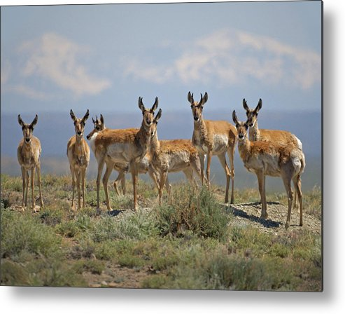 Antelope Metal Print featuring the photograph Antelope by Heather Coen