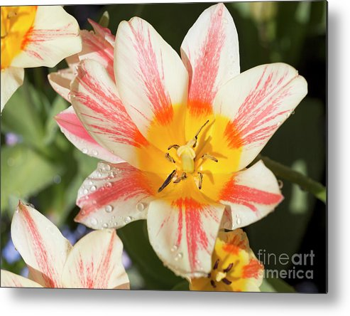 Tulips Metal Print featuring the photograph Beautiful Tulip With A Yellow Center And Pink Striped Petals by Louise Heusinkveld