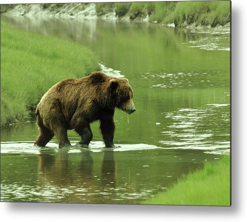 Grizzly Boar Metal Print featuring the photograph Determined by Dennis Blum