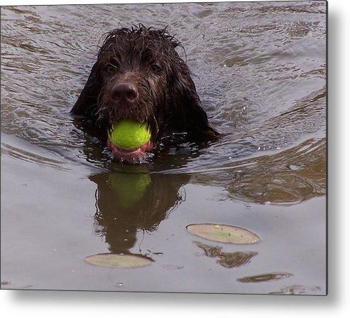 Lab Metal Print featuring the photograph Fetch by Lora DePietro