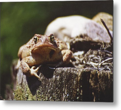 Frog Metal Print featuring the photograph Frog Stump by Brian Marsh