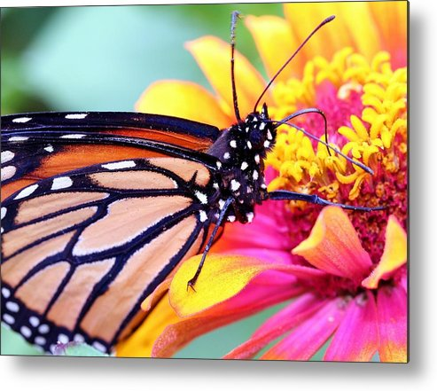 Butterfly Metal Print featuring the photograph Happiness by Mitch Cat