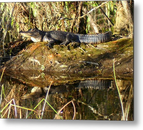 Alligator Metal Print featuring the photograph King Of The Hill by Lisa Scott