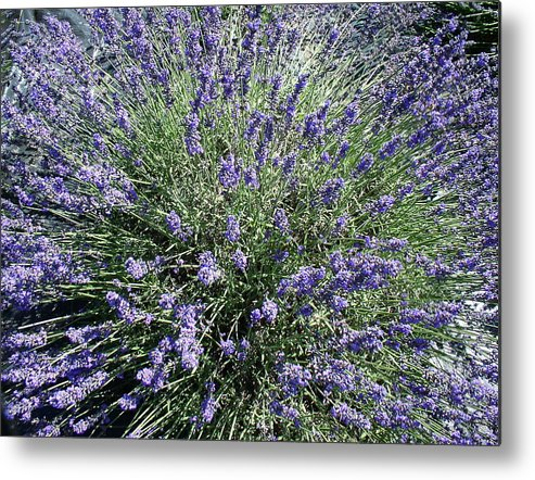 Flowers Metal Print featuring the photograph Lavender 2 by Valerie Josi