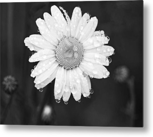 Daisy Metal Print featuring the photograph Love Weeps by Floyd Aldrich