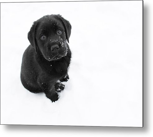 Dog Metal Print featuring the photograph Puppy In The Snow by Larry Marshall