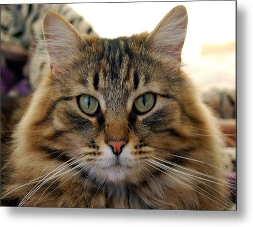 Cats Metal Print featuring the photograph Quentin by Heather S Huston