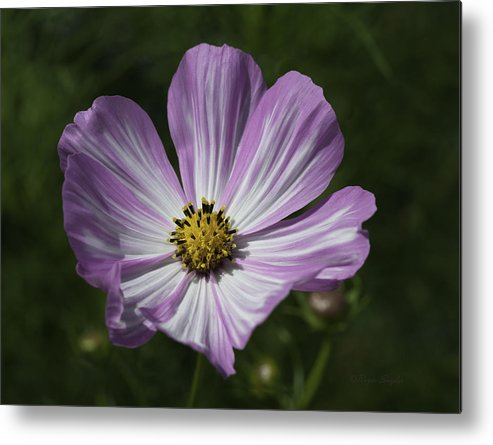 Beautiful Photos Metal Print featuring the photograph Striped Cosmos 1 by Roger Snyder