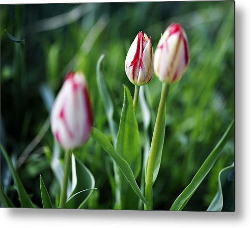 Flower Metal Print featuring the photograph Striped Tulips In Spring by Marilyn Hunt