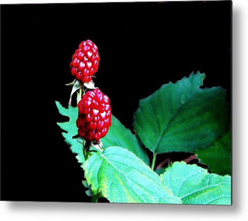 Black Berries Metal Print featuring the digital art Unripe Blackberries by Kenna Westerman