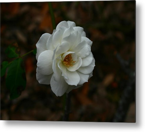 White Metal Print featuring the photograph White Rose 209 by David Houston